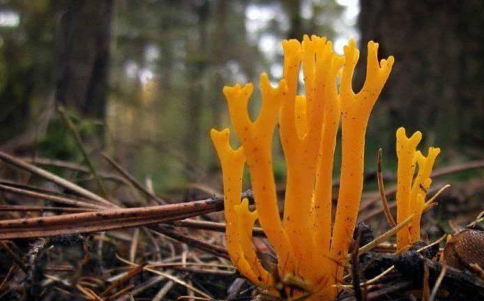 Виды коралловых грибов и их полезные свойства