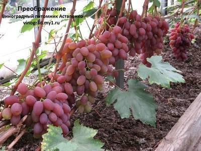 """Виноград """"преображение"""": описание сорта, урожайность, фото, отзывы"""