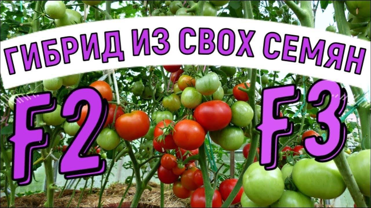 Мой огород 3. моя коллекция крупноплодных томатов