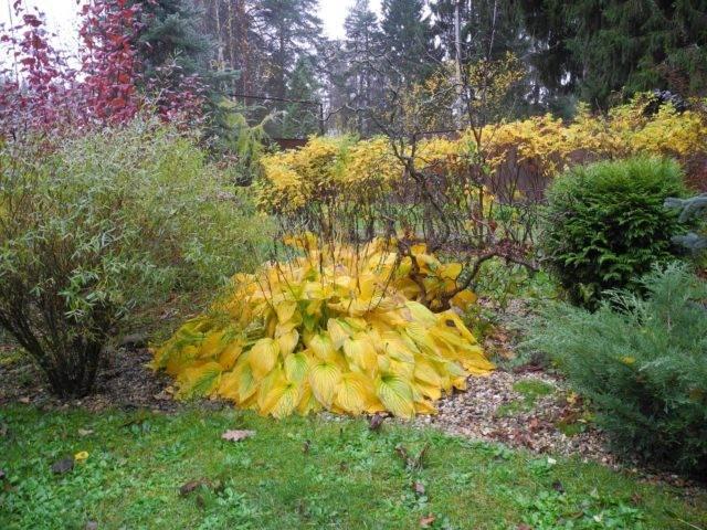 Подготовка хосты к зиме: уход осенью, обрезка, чем удобрять, подкормка молодых кустов – дачные дела