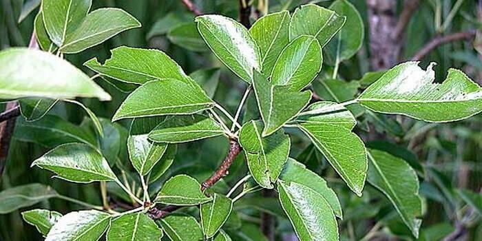 Почему краснеют листья груши - дачные советы