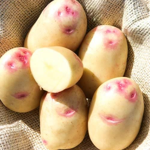 Картофель синеглазка: отзывы, фото, описание сорта