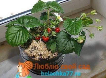 Как вырастить клубнику из семян: инструкция по выращиванию и уходу в домашних условиях (100 фото и видео)