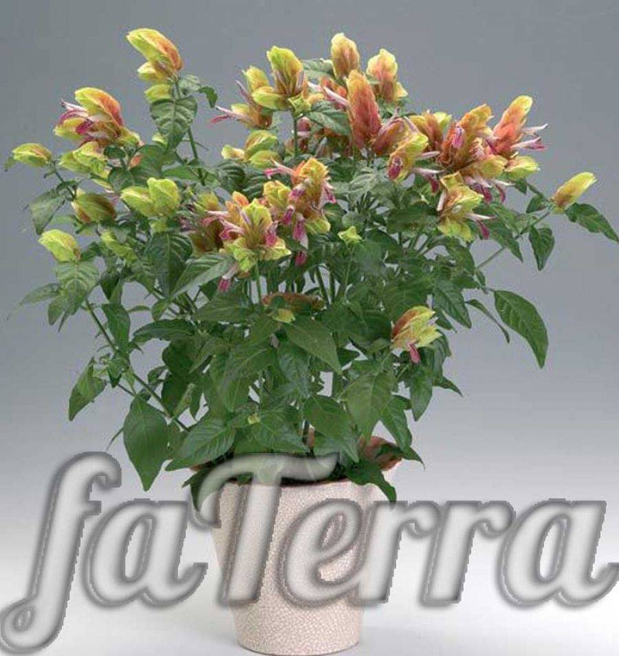Цветок белопероне: фото и уход в домашних условиях