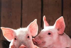 «очумевшие» свиньи: что нужно знать о вирусе ачс?