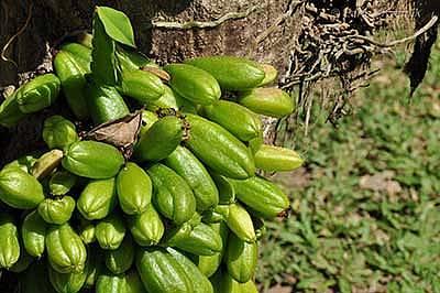 Огуречное дерево (билимби): описание, фото