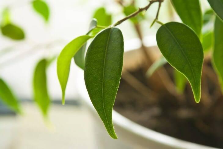 У фикуса опадают листья (26 фото): по каким причинам фикус сбрасывает листья? что делать, если они желтеют? почему листья опали зимой? лечение и уход в домашних условиях