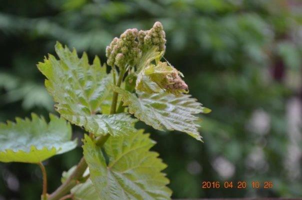 Виноград русбол улучшенный: описание сорта, фото