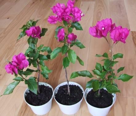 Бугенвиллия - 135 фото цветка и особенности ухода за ним к комнатных условиях