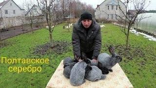 Кролики полтавское серебро: разведение и содержание