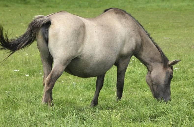 Стадии беременности у кобыл лошади: реакции, ректальный метод, признаки отсутствия жеребости, строение половой системы