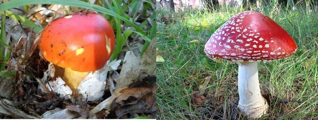 Цезарский гриб - вики