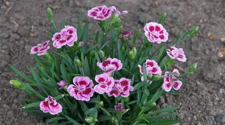 Гвоздика садовая многолетняя: посадка и уход, фото