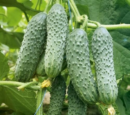 Огурец брейк f1: отзывы, описание сорта, фотографии, выращивание и уход, урожайность