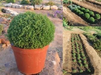 Туя тедди - низкорослое вечнозелёное растение.
