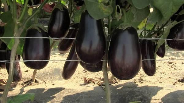 Как часто поливать баклажан в теплице из поликарбоната и в парнике во время цветения и плодоношения