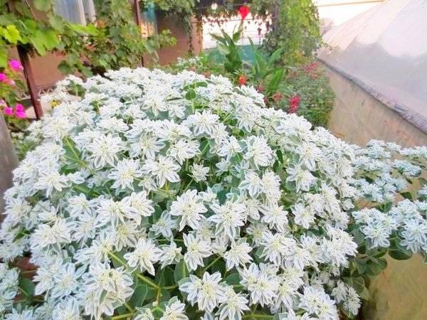 Молочай садовый многолетний - красивый цветок, уход за ним: выращиванеи и посадка не составят труда selo.guru — интернет портал о сельском хозяйстве