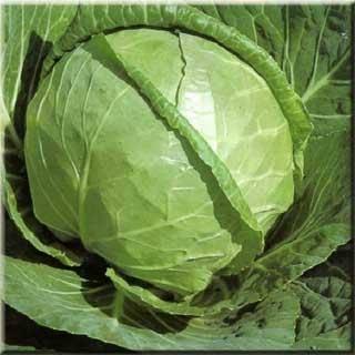 Капуста каменная голова: описание сорта, фото, отзывы, урожайность