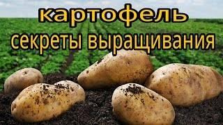 Через сколько всходит картофель