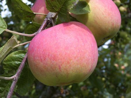 Сорт яблони мельба: отзывы, фото, вкусовые качества яблок, описание, выращивание, посадка и уход, опылители, обрезка деревьев