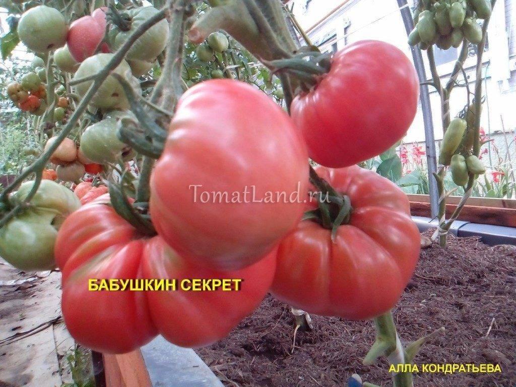 Описание сорта томата Бабушкин секрет — как поднять урожайность
