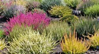 Вереск в саду – как его выращивать?