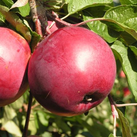 Яблоня свежесть: описание и характеристики сорта, особенности посадки и ухода