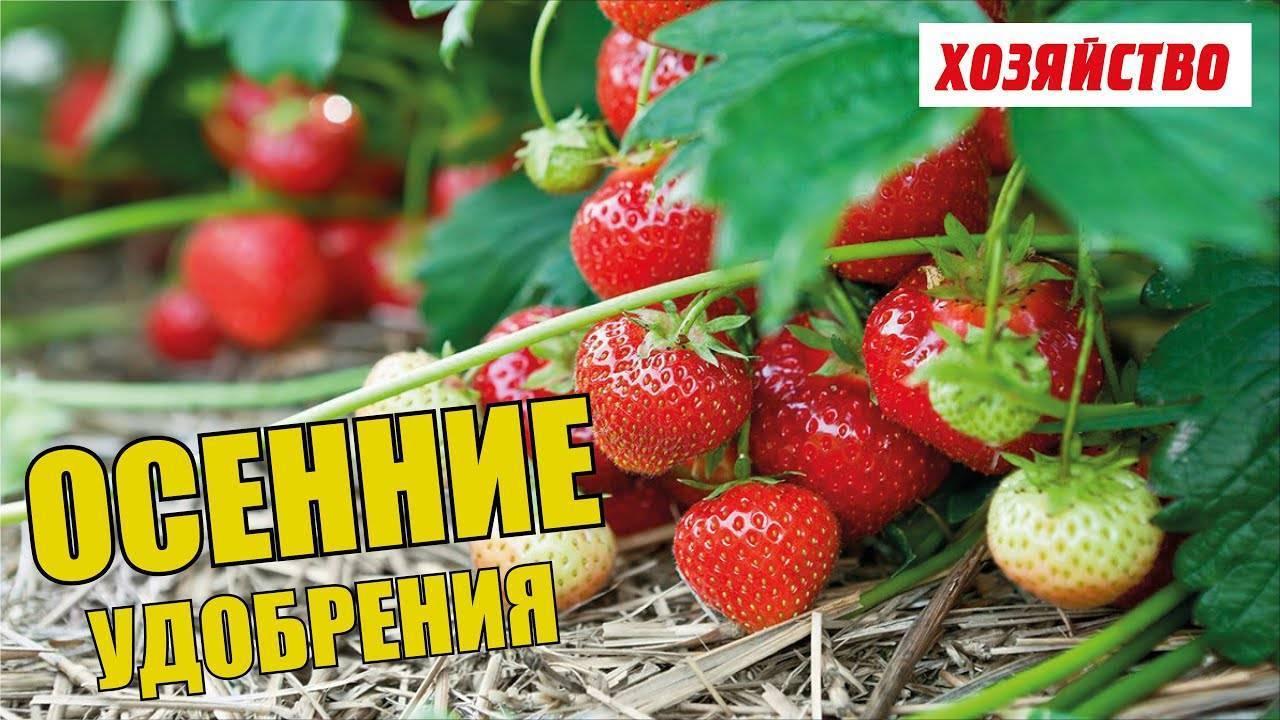 Чем подкармливать клубнику осенью после обрезки для лучшего урожая
