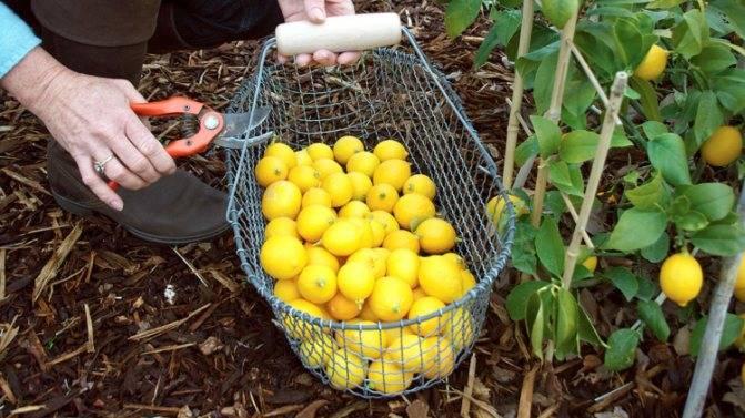 Лимон мейера: что это за растение, а также описание сорта и фото, все тонкости ухода в домашних условиях для начинающих, выращивание в открытом грунтедача эксперт