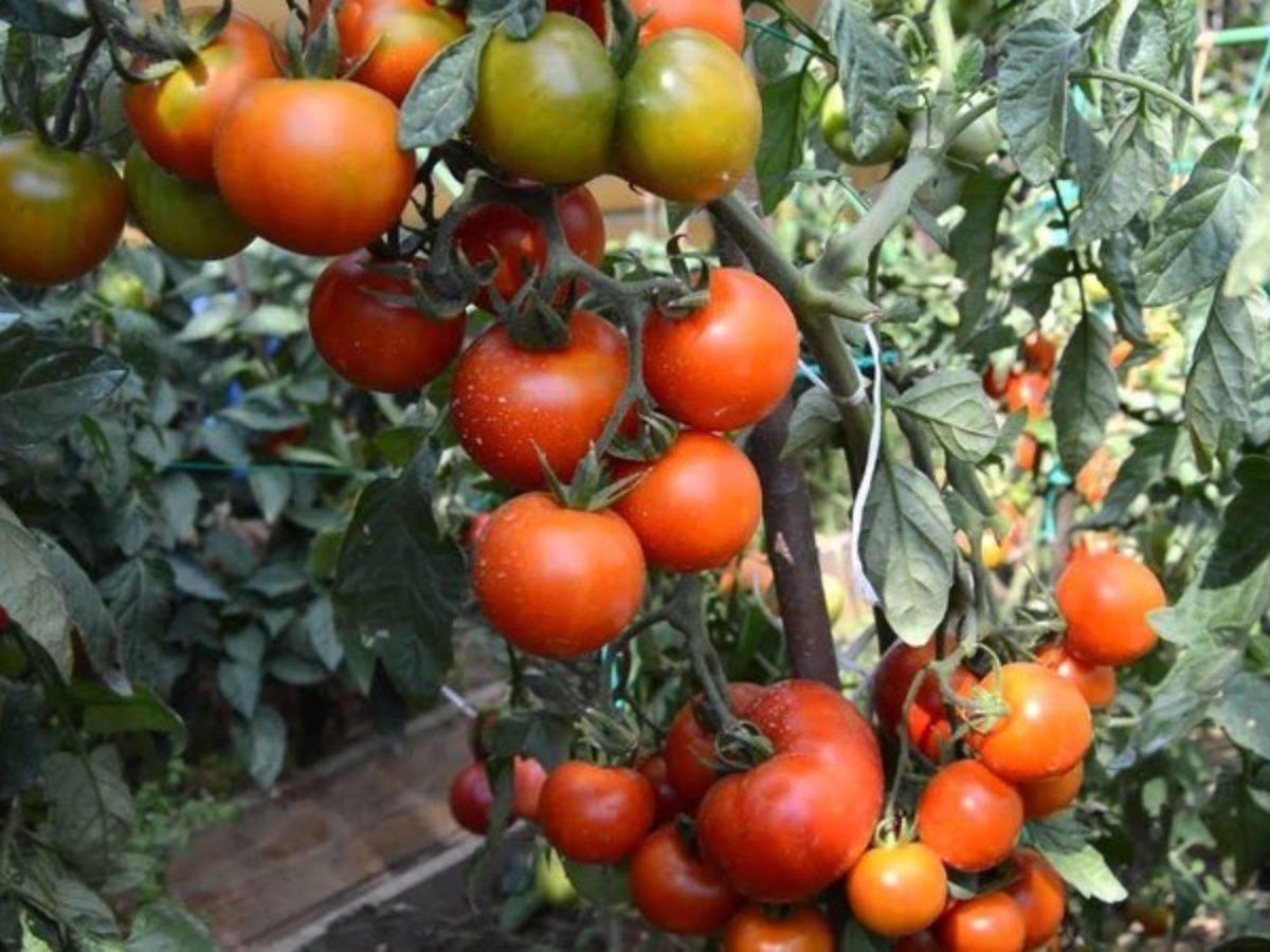 Не требующий много сил и времени, сорт от фирмы «поиск» — томат розовый агат: характеристика и описание