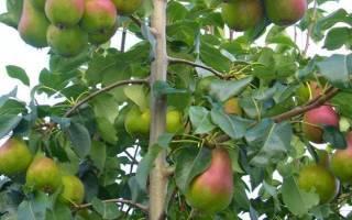 Груша гера: описание сорта, недостатки, опылители, отзывы садоводов