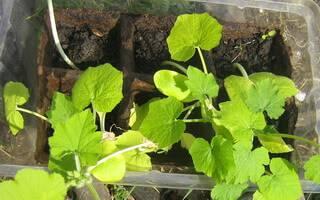 Подкормка для огурцов выращиваемые на балконе или подоконнике