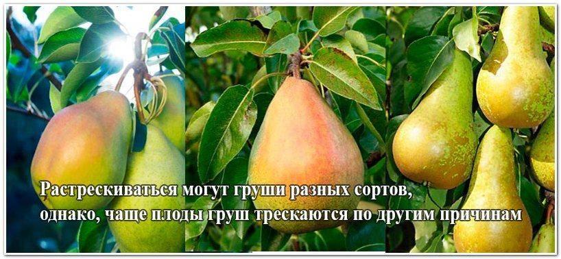 Почему плоды груши внутри темнеют: что делать и как лечить
