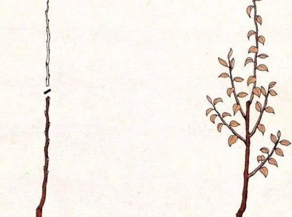 Обрезка колоновидных яблонь осенью для начинающих в картинках