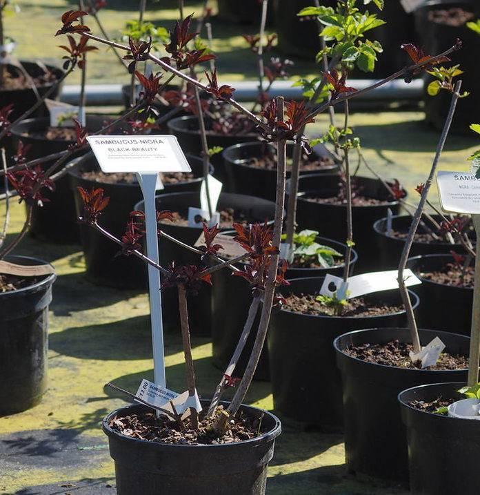 Бузина черная «блэк лэйс»: описание, выращивание и размножение