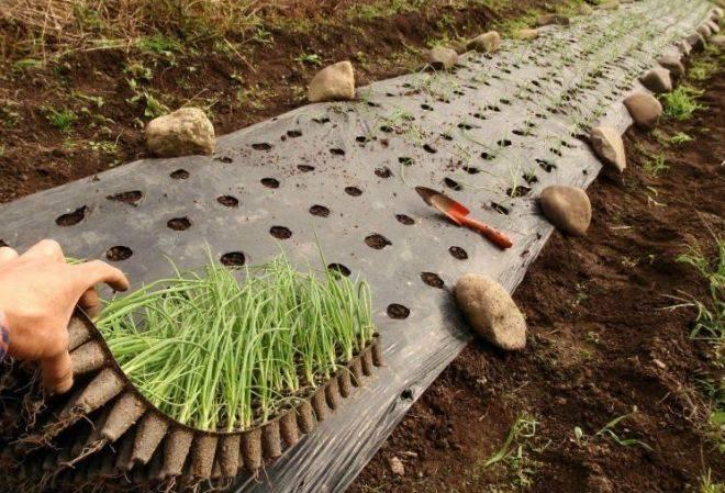 Лук чернушка: правила выращивания из семян