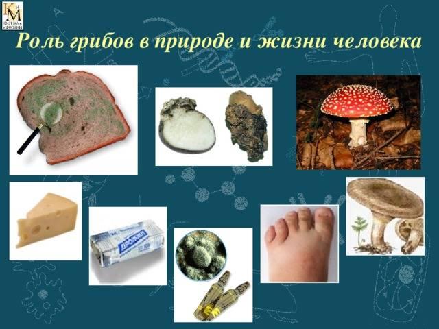 ✅ какую роль играют грибы в жизни человека - питомник46.рф