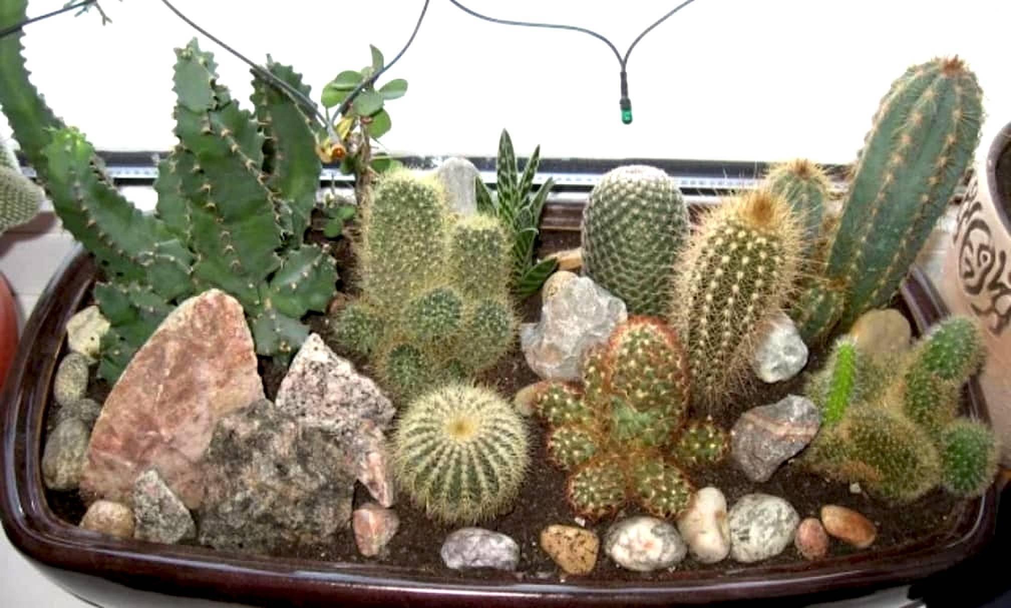 Как ухаживать за кактусом в горшке в домашних условиях