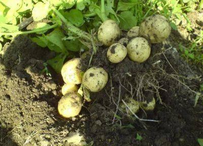 Сорта картофеля – выбираем самые урожайные и стойкие к заморозкам   спутниковые технологии