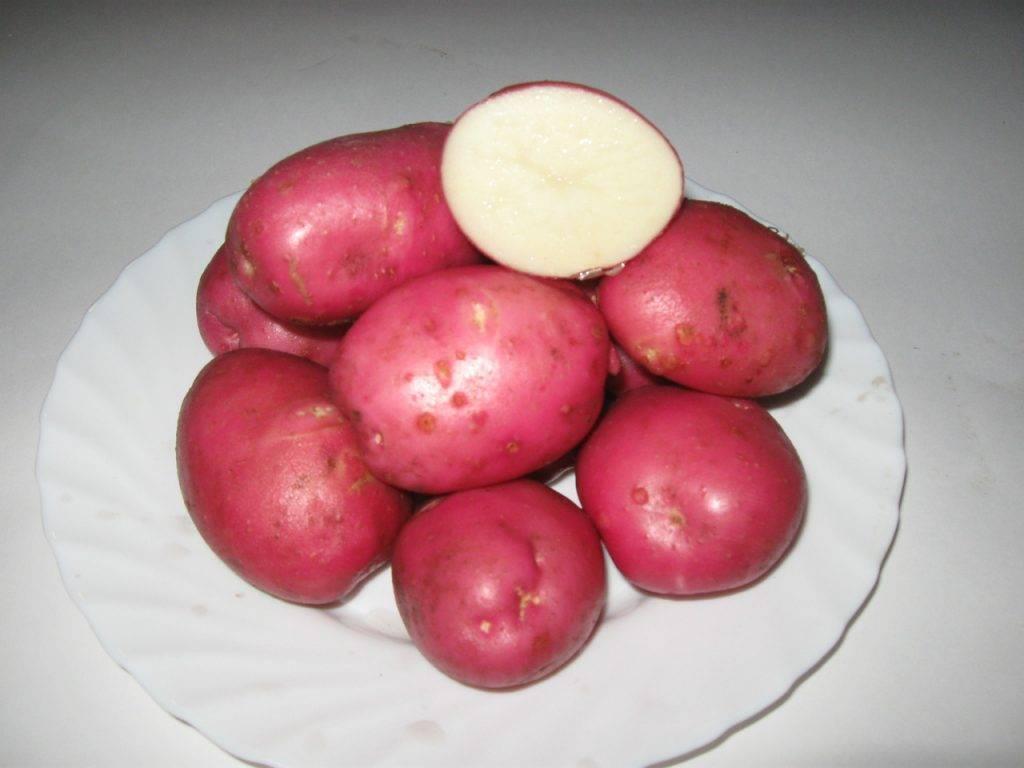 Картофель любава: фото, описание сорта, выращивание и уход
