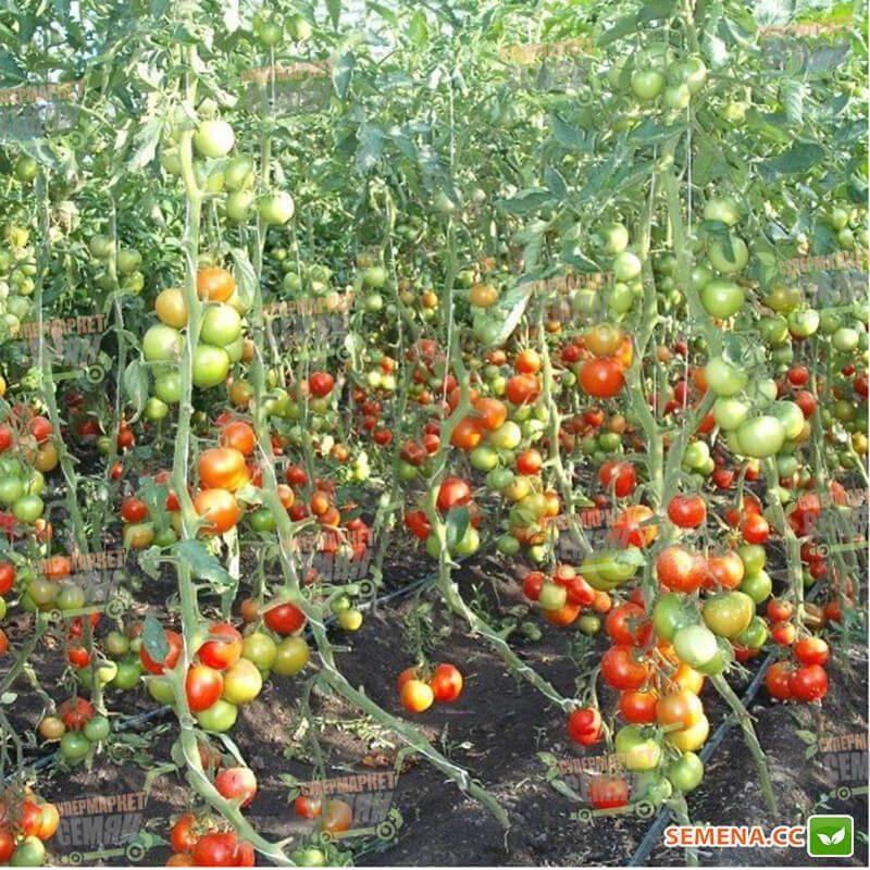 Томат тайлер f1 описание фото отзывы - журнал садовода ryazanameli.ru