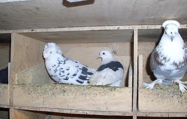 Как сделать гнёзда для голубей в голубятне