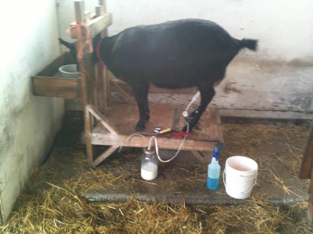 Как доить козу до окота и после своими руками