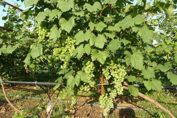 Виноград белое чудо: особенности сорта
