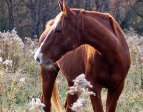 Буденновская порода лошадей: фото и видео, характер, разведение и описание