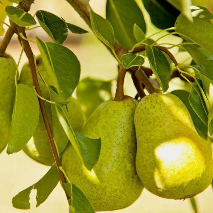 Описание лучших сортов груш для сибири, посадка и уход - всё про сады