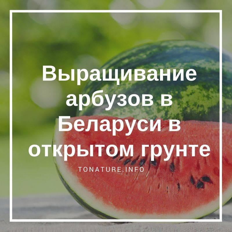 Как сажать арбузы в открытый грунт семенами, их замачивание и проращивание перед посадкой