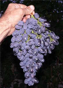 Виноград ванюша описание сорта фото отзывы - скороспел