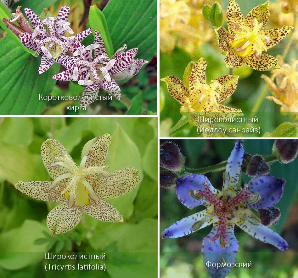 Садовая орхидея трициртис посадка и уход в открытом грунте фото в саду виды жабьей лилии