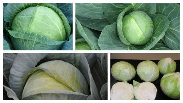 Лучшие сорта капусты для засолки и хранения: как выбрать, варианты для сибири и других регионов, отзывы